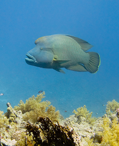 Humphead wrasses are the largest of the wrasses