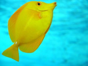 The Yellow Tang is a saltwater fish