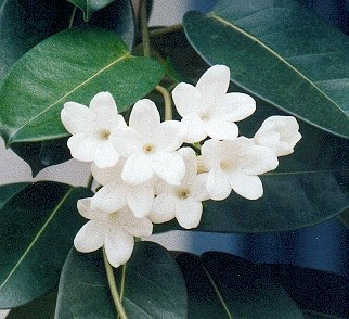 Stephanotis.floribunda Stephanotis