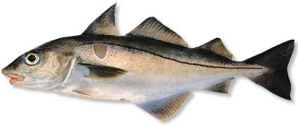 Haddock is a popular food fish