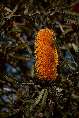 As the name suggets, the Orange Banksia is orange in colour