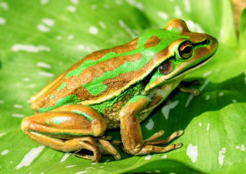 GGBF wwwlancejurdcom e1286259575673 Green and Golden Bell Frog