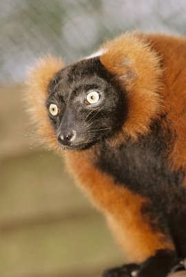 lh red ruffed lemur nov06 Ruffed Lemur