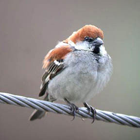 Russet Sparrow on a wire