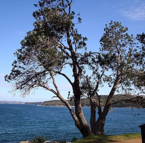 The Coast Banksia in Manly