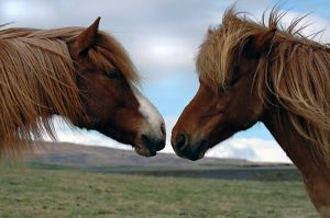 658233 friends Icelandic Horse