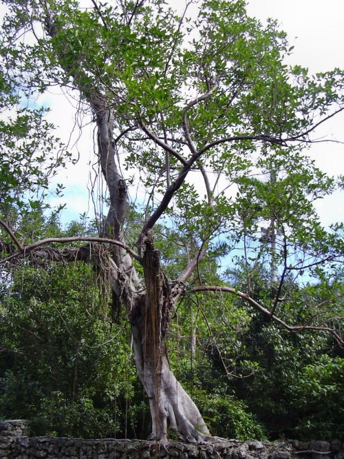 The Florida strangler fig tree is native to Florida, the Carribean, and Central America
