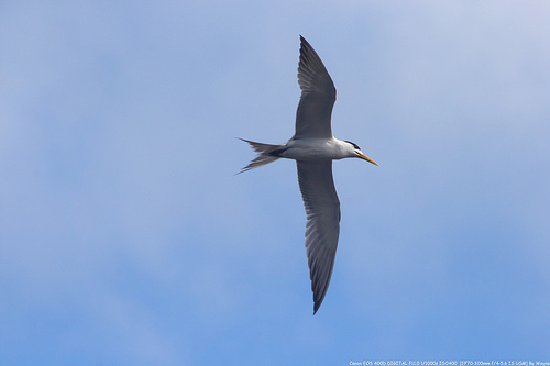flying Greater Crested Tern