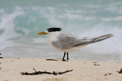 on the beach Greater Crested Tern