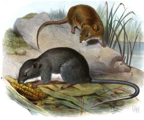 Oryzomys couesi Tylomys panamensis Coues Rice Rat
