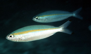 Goldband fusiliers are reef fish