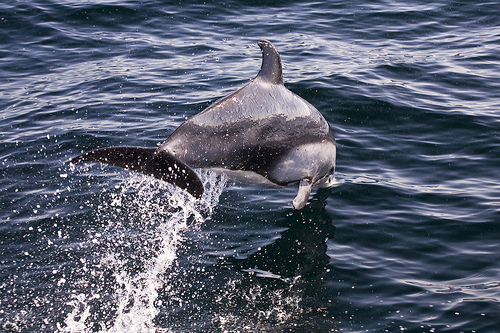 2205749886 b54a83046d Pacific White Sided Dolphin