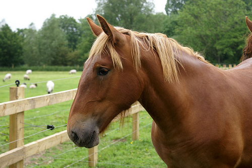 The Suffolk Punch horse is a breed from England