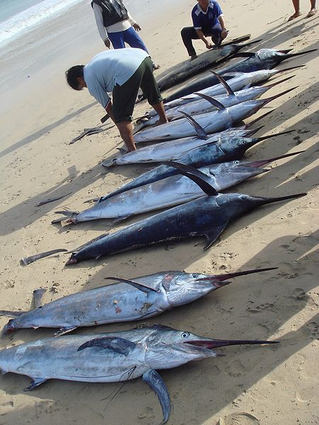 450px Morning catch of marlin at Jimbaran Marlin