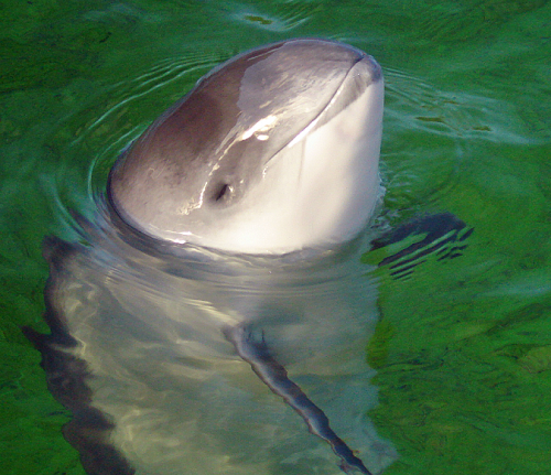Daan Close Up e1295064490558 Harbor Porpoise