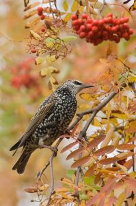 A European Starling searching for berries