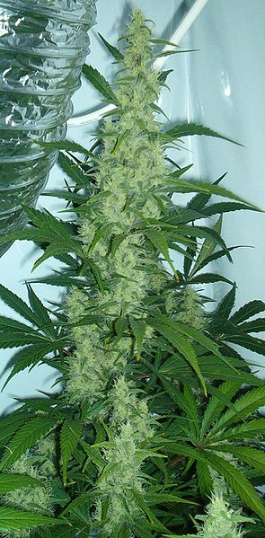 Cannabis flowering Medical Marijuana A Front to Trafficking