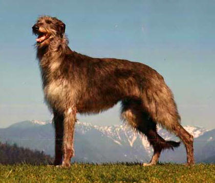 Deerhound Fernhills Kendra Scottish Deerhound Kept a Secret in the Dog World
