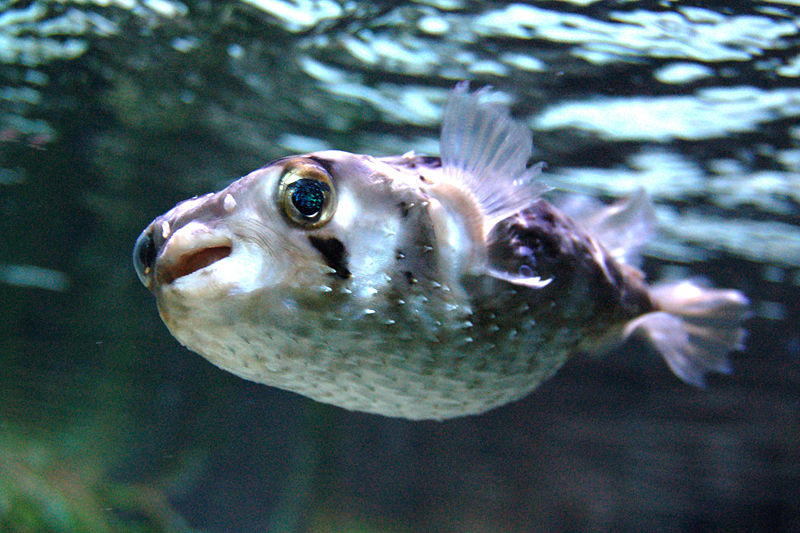 10 of the world s spikiest living things what on earth for How much is a puffer fish