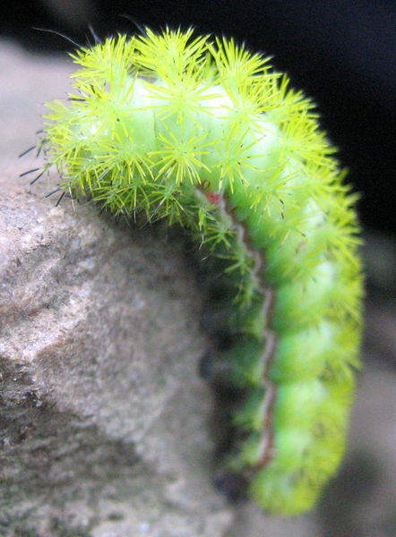 Io moth caterpillar1 10 Beautiful Yet Toxic Caterpillars