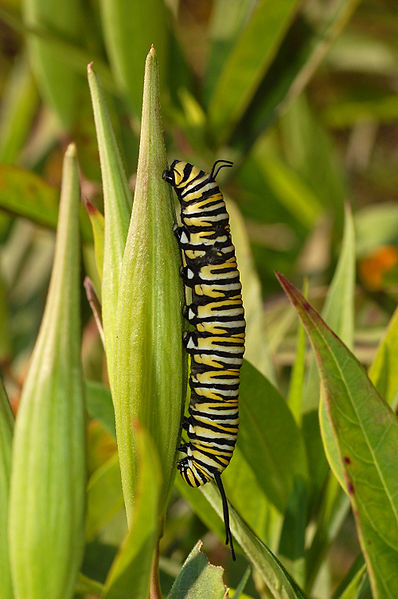 Monarch Butterfly Danaus plexippus Vertical Caterpillar 10 Beautiful Yet Toxic Caterpillars