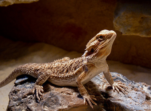 bearded dragon Top 10 Most Popular Pet Reptiles