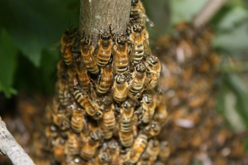 bees e1299564383322 Honeybee Colony Collapses To Save Half The Worlds Crops