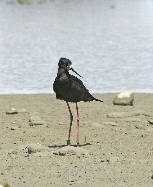 black stilt 10 of the Worlds Rarest Birds