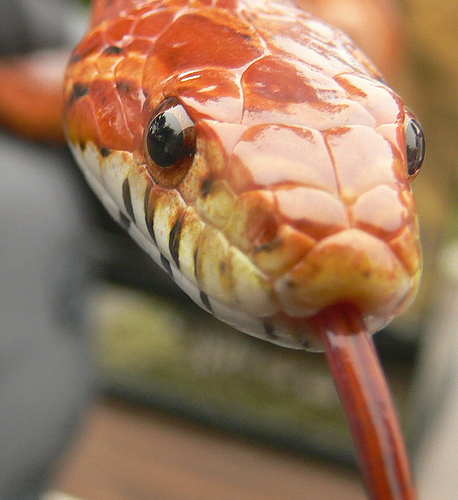 corn snake Top 10 Most Popular Pet Reptiles