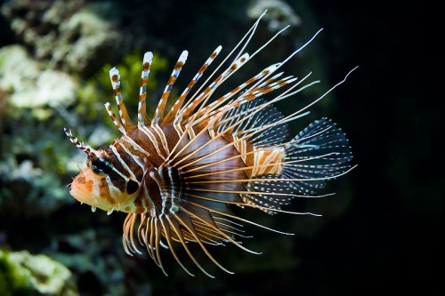lionfish e1300853121192 10 of the Worlds Spikiest Living Things