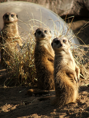 meerkat Amazing Wildlife Expeditions That You Shouldnt Miss