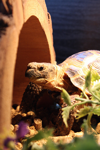 russian tortoise Top 10 Most Popular Pet Reptiles